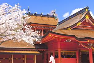 桜咲く富士山本宮浅間大社の拝殿と本殿の写真素材 [FYI04801186]
