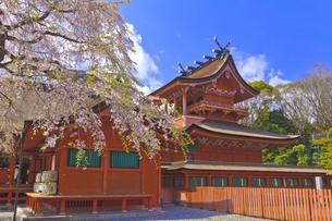 桜咲く富士山本宮浅間大社の本殿の写真素材 [FYI04801187]