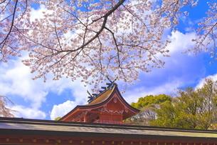 桜咲く富士山本宮浅間大社の本殿の写真素材 [FYI04801188]