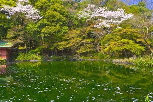 桜咲く富士山本宮浅間大社の湧玉池の写真素材 [FYI04801189]