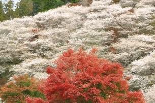 小原の四季桜の写真素材 [FYI04801313]