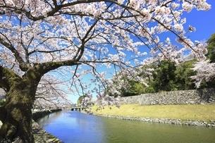 彦根城 内堀の桜並木の写真素材 [FYI04801315]