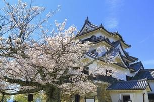 彦根城 天守と桜の写真素材 [FYI04801316]