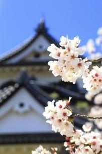 彦根城 天守と桜の写真素材 [FYI04801317]