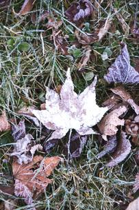 落ち葉と霜の写真素材 [FYI04801532]