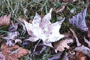 落ち葉と霜の写真素材 [FYI04801533]