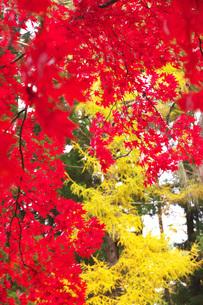 見晴公園の秋紅葉の写真素材 [FYI04801548]