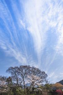桜の上を舞う雲の写真素材 [FYI04801572]