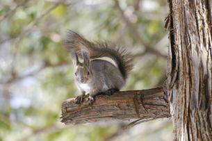 木の上のリスの写真素材 [FYI04801625]