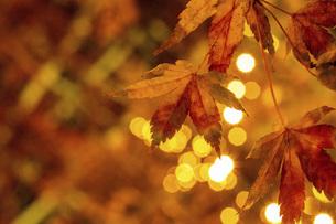 冬の紅葉の写真素材 [FYI04801888]