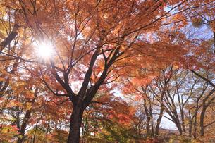 太陽光と紅葉の写真素材 [FYI04801927]