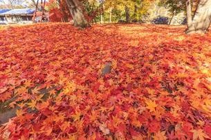 地面に広がる赤い紅葉のじゅうたんの写真素材 [FYI04801929]