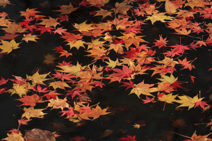 日本の秋 池に浮かぶ紅葉の写真素材 [FYI04801934]