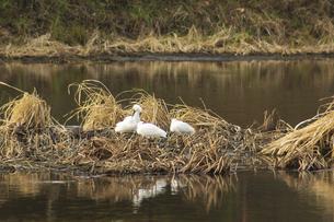 江津湖のコサギの写真素材 [FYI04802000]