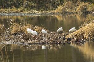 江津湖のコサギの写真素材 [FYI04802001]