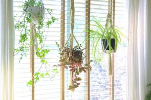 吊るし植物のハンギングプランターのグリーンがある室内の写真素材 [FYI04802015]