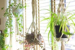 吊るし植物のハンギングプランターのグリーンがある室内の写真素材 [FYI04802016]