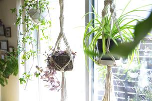 吊るし植物のハンギングプランターのグリーンがある室内の写真素材 [FYI04802018]