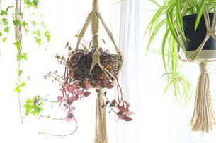 吊るし植物のハンギングプランターのグリーンがある室内の写真素材 [FYI04802020]