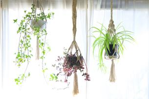 吊るし植物のハンギングプランターのグリーンがある室内の写真素材 [FYI04802021]