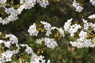 春爛漫の桜の写真素材 [FYI04802076]