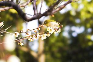 メジロと梅の花の写真素材 [FYI04802084]