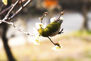 メジロと梅の花の写真素材 [FYI04802085]