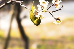 メジロと梅の花の写真素材 [FYI04802086]