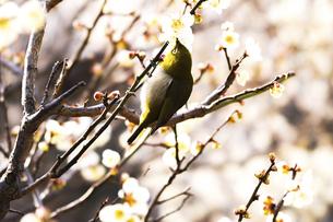 メジロと梅の花の写真素材 [FYI04802087]