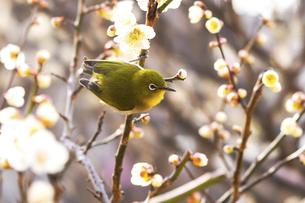 メジロと梅の花の写真素材 [FYI04802088]