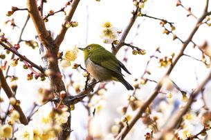 メジロと梅の花の写真素材 [FYI04802089]