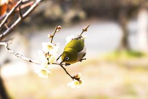 メジロと梅の花の写真素材 [FYI04802117]