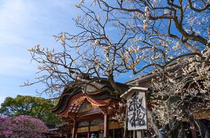福岡県 太宰府天満宮の飛梅の写真素材 [FYI04802137]