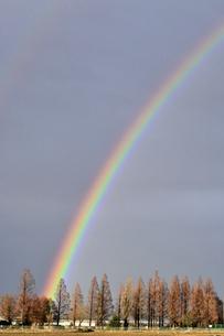 メタセコイアと虹の写真素材 [FYI04802216]
