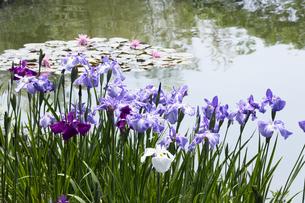 ハナショウブと池の写真素材 [FYI04802217]