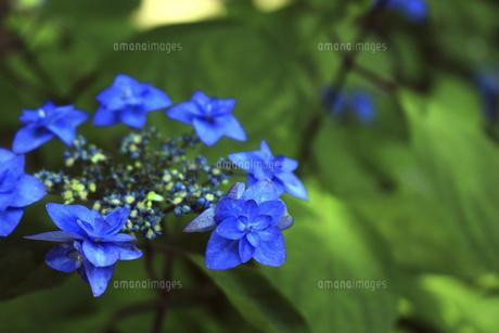 日本の梅雨時期に咲く紫陽花の花の写真素材 [FYI04802232]
