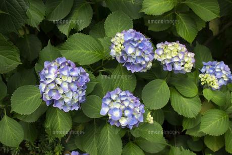日本の梅雨時期に咲く紫陽花の花の写真素材 [FYI04802237]