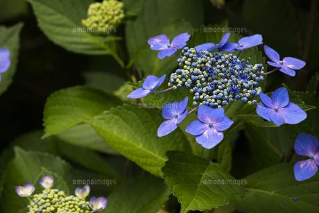 日本の梅雨時期に咲く紫陽花の花の写真素材 [FYI04802240]