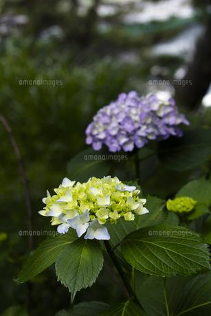 日本の梅雨時期に咲く紫陽花の花の写真素材 [FYI04802245]