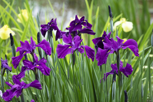 ハナショウブの花の写真素材 [FYI04802253]