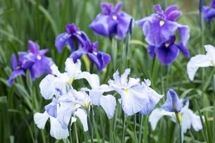 ハナショウブの花の写真素材 [FYI04802266]