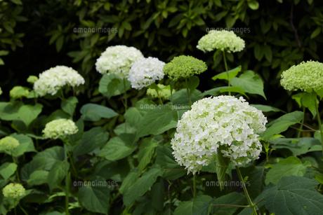 日本の梅雨時期に咲く紫陽花の花の写真素材 [FYI04802268]
