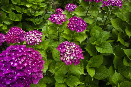 日本の梅雨時期に咲く紫陽花の花の写真素材 [FYI04802269]