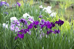 ハナショウブの花の写真素材 [FYI04802270]