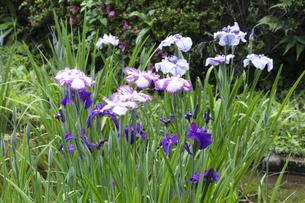 ハナショウブの花の写真素材 [FYI04802273]