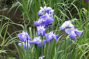 ハナショウブの花の写真素材 [FYI04802278]