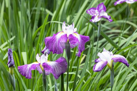 ハナショウブの花の写真素材 [FYI04802291]