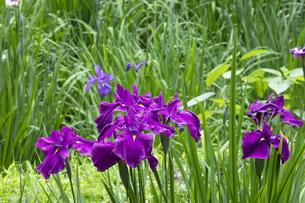 ハナショウブの花の写真素材 [FYI04802294]