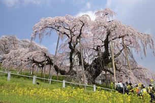 満開の滝桜の写真素材 [FYI04802304]