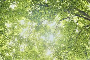 新緑のブナの森 新緑がきれいなグリーンシーズンの写真素材 [FYI04802307]